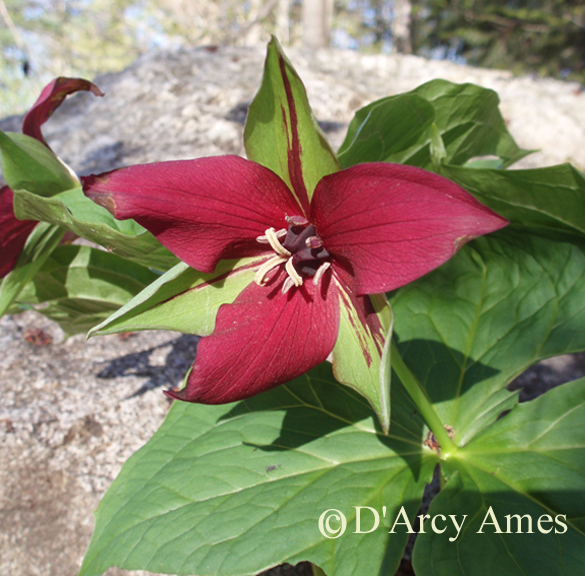 Purple Trillium - Bear Mountain Botanicals