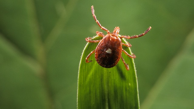 """A Lone Star Tick """"questing"""" for a host."""