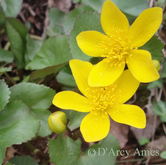 Marsh Marigold Blooms - Bear Mountain Botanicals