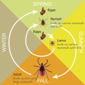 Life cycle of a Deer Tick.