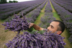 Annual Lavender Harvest in England.(Photo by Dan Kitwood/Getty Images)