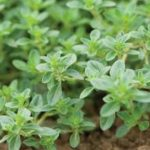 Thyme Plant - Products Made From Plants - Bear Mountain Botanicals